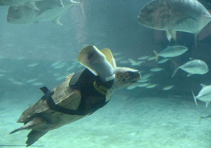 In een Japans aquarium heeft een gehandicapte zeeschildpad een nieuw paar kunstflippers gekregen om beter te kunnen zwemmen. De medewerkers van het Suma Aqualife Park in Kobe zijn met het ontwerp bezig sinds ze de schildpad in 2008 hebben opgevangen. De 25-jarige Yu werd wellicht door haaien verminkt. - De Standaard