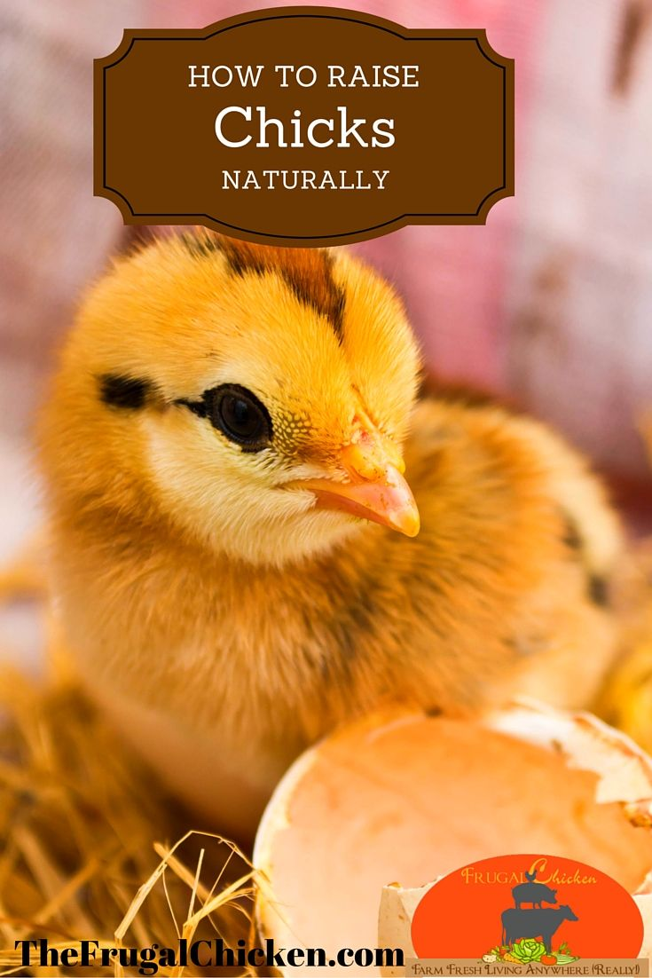 how to keep baby chickens healthy