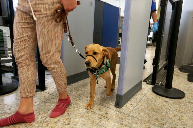 Dozens Of Guide Dogs In Training Descend On Oakland Airport