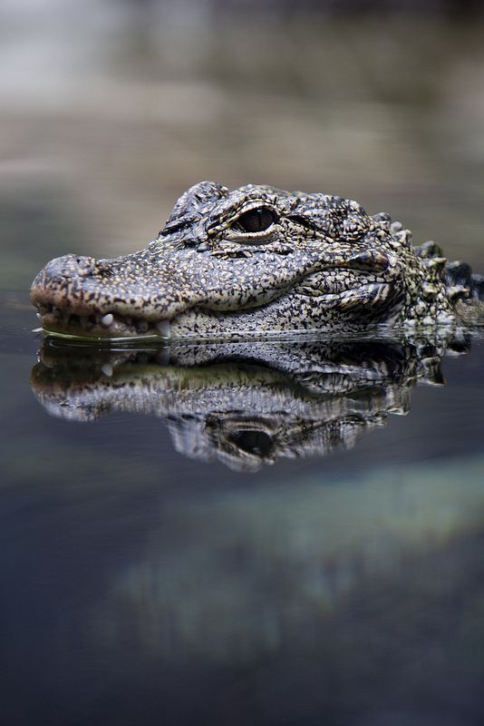 The Chinese Alligator was once widespread in parts of China, but is now Critically Endangered. Threatened by habitat destruction, poisoning of food sources, and other environmental impacts.