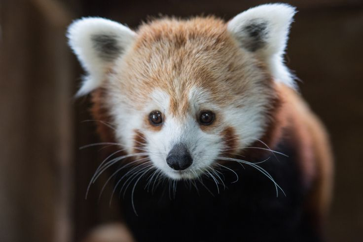 Meet Granberry - a Red panda and the newest addition to the Trevor Zoo.