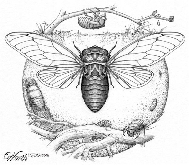 139 best cicadas images on pinterest bugs cicada tattoo and insects. Black Bedroom Furniture Sets. Home Design Ideas