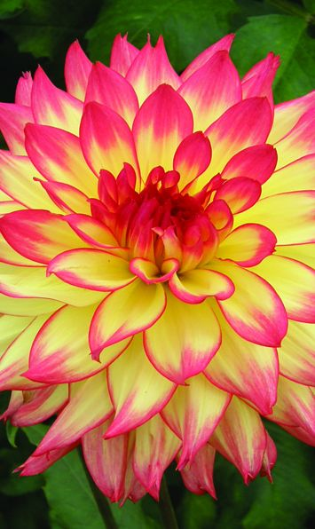 Candle Lite Dahlia | K Connell Dahlias Feed your plants with GrowBest from http://www.shop.embiotechsolutions.co.uk/GrowBest-EM-Seaweed-Fertilizer-Rock-Dust-Worm-Casts-3kg-GrowBest3Kg.htm
