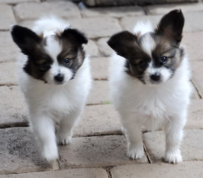 Papillon Puppies. That's what I need  - a Papillon companion! <3