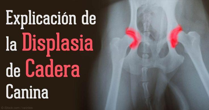 Investigadores identificaron los genes involucrados en la displasia de cadera en los Pastores Alemanes, una de varias razas grandes propensas a la enfermedad.
