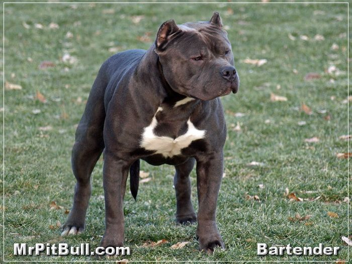 Best 10 Pitbull Puppies For Sale Ideas On Pinterest