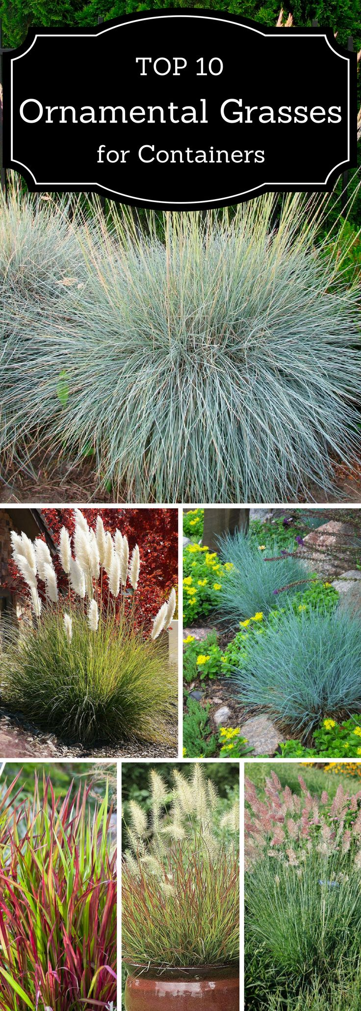 Best 25 ornamental grasses ideas on pinterest landscape for Ornamental grass in containers for privacy