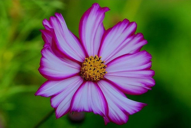Cosmos! a favorite wild flowers!