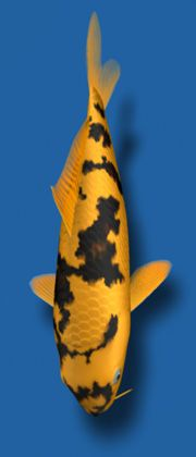 "Ki Utsuri The Ki Utsuri, or ""yellow"" Utsuri, is a jet black fish with yellow markings."