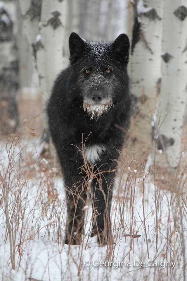 Horton An Irish Wolfhound Timber Wolf Low Content Wolfdog Imgur Wolf Dog Irish Wolfhound Dogs Irish Wolfhound