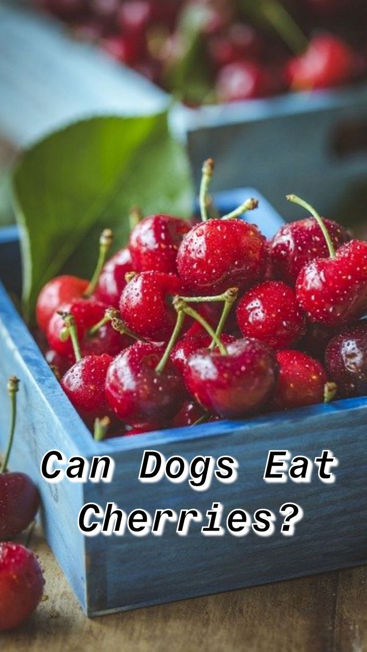 Can dogs eat cherries with images pancreatic diet