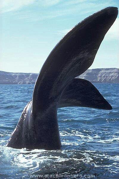 Ballenas.peninsula de valdez - Whales at Valdez Peninsula - Argentina