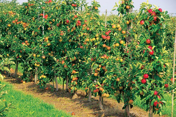 Можно ли вырастить интенсивный сад на даче? На организации сада можно сэкономить место, используя карликовые деревья, сформированные в виде шпалер, пальметт или кордонов. При кажущейся сложности, такой способ получения фруктов имеет массу преимуществ и не так уж трудозатратен.