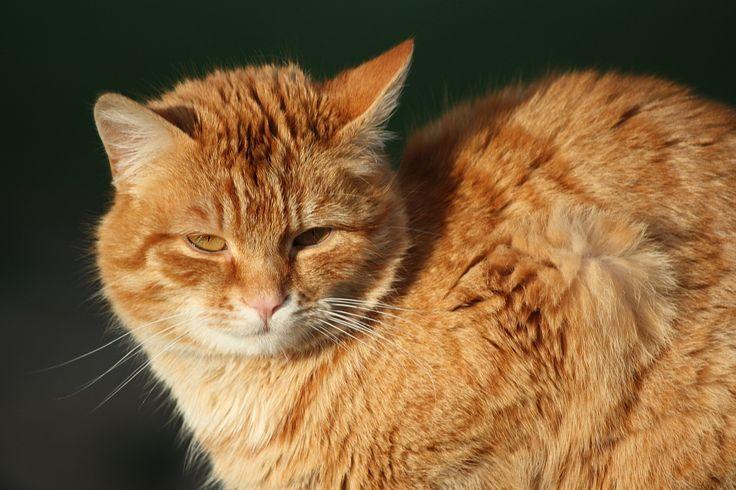 ung röd katt brun däggdjur fauna närbild näsa polisonger ryggradsdjur randig katt european short~~POS=TRUNC stegjärn vildkatt små till medelstora katter katt som däggdjur rovdjur inhemsk korthårig katt pixie bob inhemsk långhårig katt rostfläckig katt