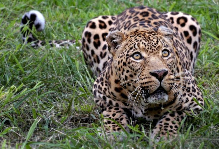 The Vanishing Act Of The African Leopard