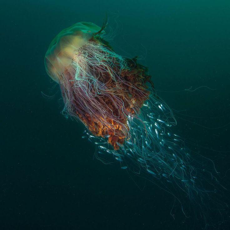 Cette photo de méduse à crinière de lion a été primée aux British Wildlife Photography Awards