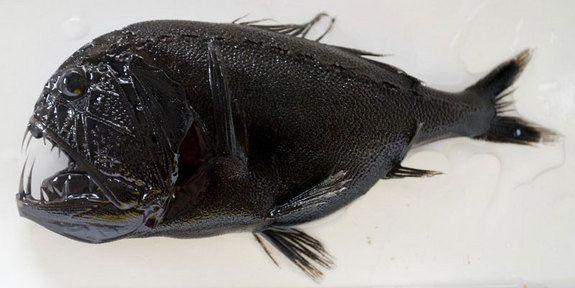 peixe-ogro (Anoplogaster cornuta)