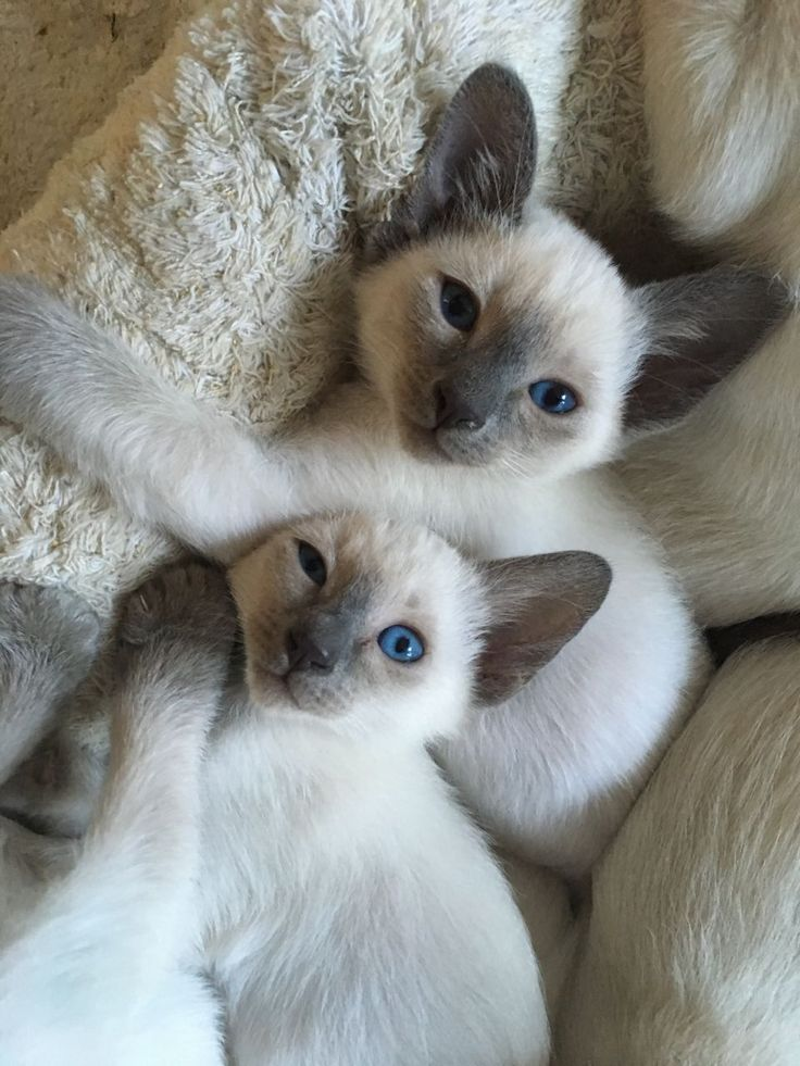 Siamese Mix Kittens For Sale