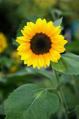 Planting cucumber seeds when your sunflower plants are about 12 inches tall gives the sunflowers time to mature while the cucumber plants ge...