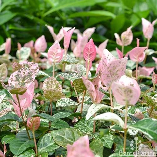 Trachelospermum asiaticum Tricolour - Asiatic jasmine http://www.australianplantsonline.com.au/trachelospermum-asiaticum-variegated.html