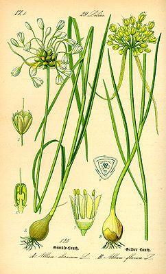 """links Gemüse-Lauch (Allium oleraceum) und rechts Gelber Lauch (Allium flavum); Illustration """"Die Unterfamilie der #Lauchgewächse oder #Zwiebelgewächse ( #Allioideae ) gehört zur Pflanzenfamilie der Amaryllisgewächse (Amaryllidaceae) in der Ordnung der Spargelartigen (Asparagales) innerhalb der Monokotyledonen. Viele Arten werden als Zierpflanzen oder Nahrungspflanzen genutzt. Die medizinischen Wirkungen einiger Arten wurden untersucht."""""""