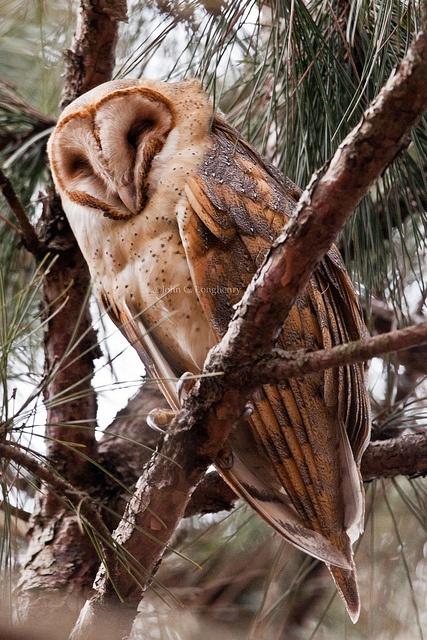 Barn Owl..... Such a pretty animal...