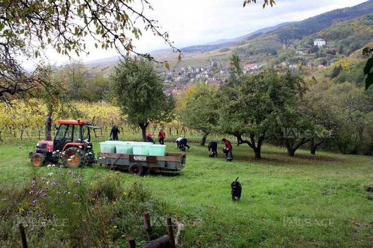 Les Croqueurs de pommes  de Ribeauvillé cultivent les vieux vergers