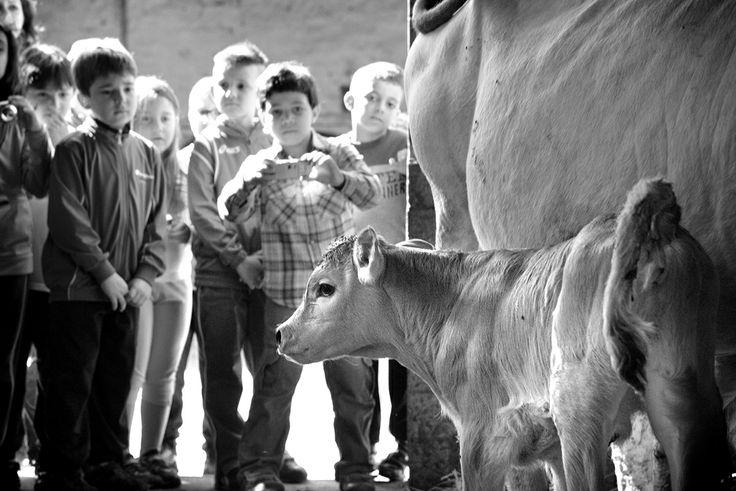 La visita alle #stalle permette di poter avere un contatto diretto con gli #animali, dare da mangiare alle mucche e far bere il latte ai vitellini, oltre che effettuare una splendida #passeggiata nel bosco con le mucche #fassonepiemontese libere di pascolare da marzo a fine novembre.