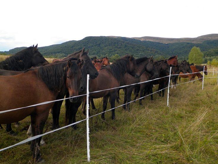 Hucuły w stajni w Wołosatem w hodowli zachowawczej Bieszczadzkiego Parku Narodowego. Bieszczady Mountain Poland 2015