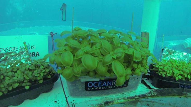 Sapevi che a #Noli il #basilico è coltivato anche sott'acqua http://www.educazionesostenibile.it/portale/pianeta-azzurro/1838-l-orto-di-nemo-di-emilio-mancuso.html …