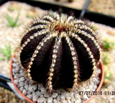 Uebelmannia PECTINIFERA beautiful unique cactus (6035864977) - Allegro.pl - More than auctions.
