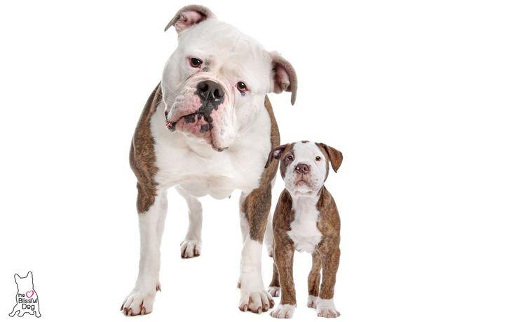 Magnífico Colorear Bulldog Americano Modelo - Ideas Para Colorear ...