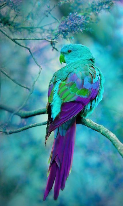 themagicfarawayttree:Turquoise and Purple ~ Australian Parrot: Australian Parrot, Purple Bird, Peacock Bird, Beautiful Color, Peacock Colour, Beautiful Birds, Animal