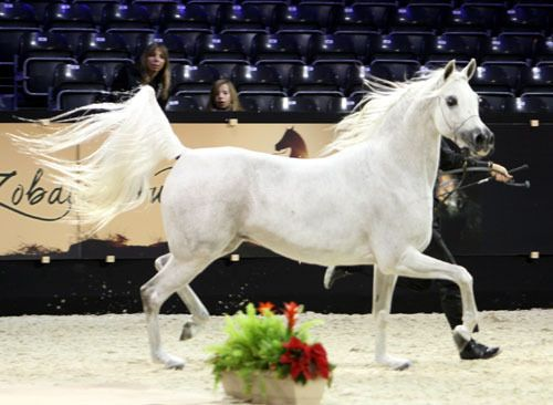 Paris - Salon Du Cheval Show :: Arabian Horses of Stonewall Farm