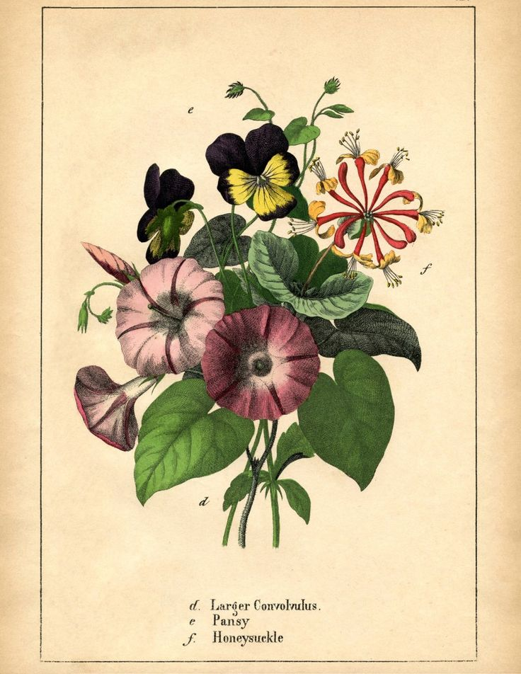 Vintage Printable Morning Glories