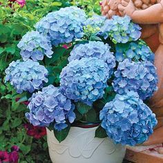 5 Essential Tips for Growing Gorgeous Hydrangeas-my absolute favorite flower! I am so jealous of all my neighbors who have beautiful purple and blue hydrangea bushes!