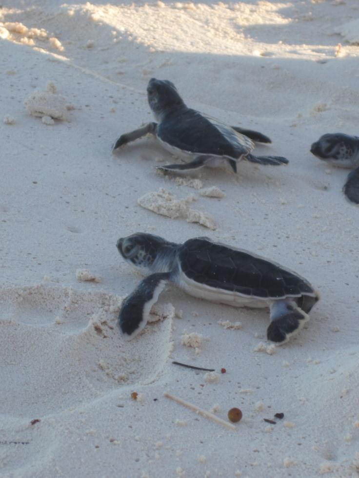 Sea Turtle Babies, Cayo Largo Cuba, 2011