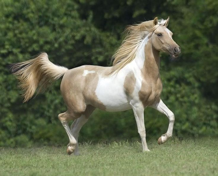 Paint Arabian Beautiful Horses Pinterest A Well