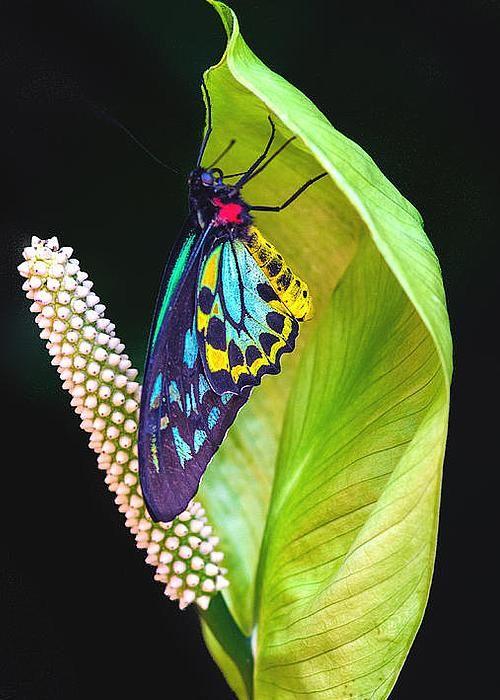 Birdwing Butterfly by Lowell Monke