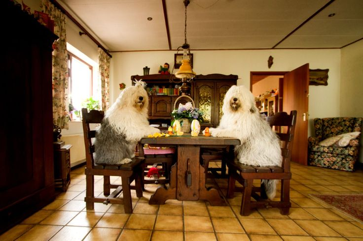 Sophie, 6, and Sarah, 4, are two Old English Sheepdogs sisters who love spending time together. Their passion for play and daily adventures are captured by their owner, an amateur Dutch photographer called Cees Bol.