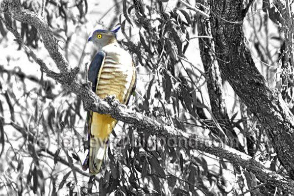 A Pacific Baza/Crested Hawk visiting one day - beautiful