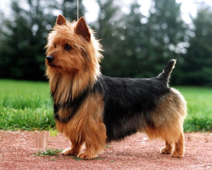17 Best Images About Grooming Inspiration Yorkie Silky