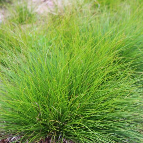 Carex eburnea bristleleaf sedge outdoors pinterest for Ornamental grasses for small spaces