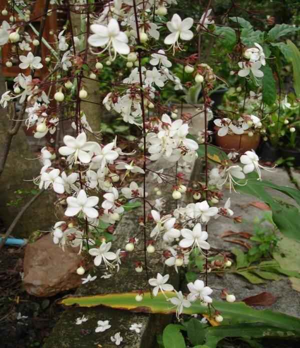les 25 meilleures id es de la cat gorie clerodendron sur pinterest quoi planter en fleurs en. Black Bedroom Furniture Sets. Home Design Ideas