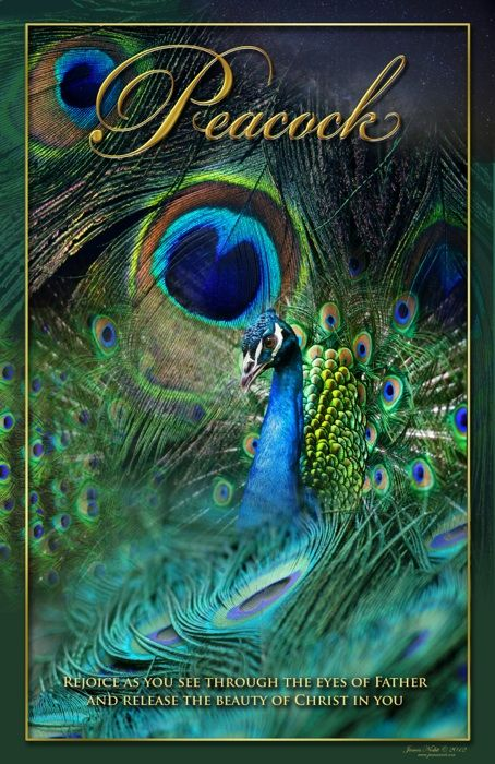 "Peacock: As the 4 living creatures around the throne of God with wings filled with eyes within & without. The male peacock has the beautiful train, his ""glory,"" used in order to attract his bride, just as our Bridegroom attracts us, His bride, with the train of His glory. He actually does have the ability to fly, but usually chooses not to, in order to be near the female; as our Bridegroom lowering & humbling Himself, in order to reveal His affection for us, reflecting His desire to be near…"