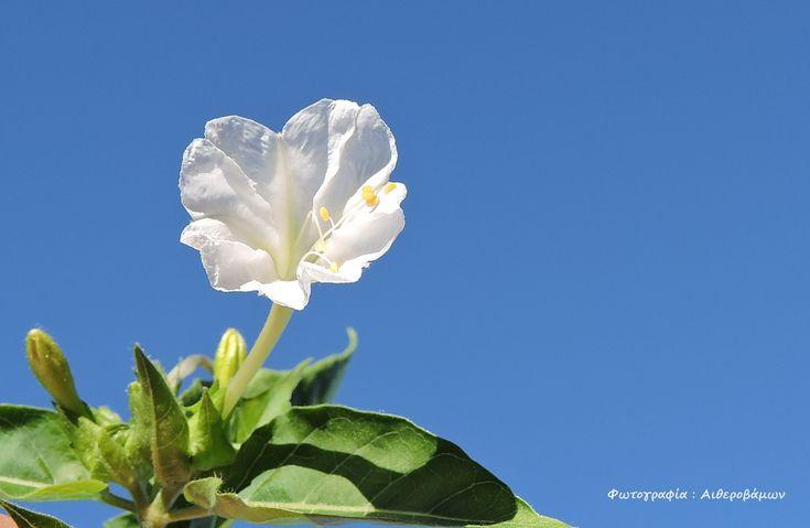 Δειλινό λευκό. (Mirabilis jalapa).