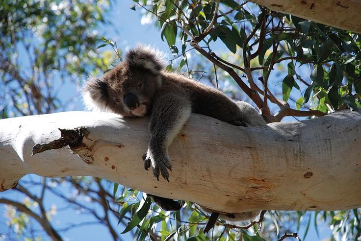 Koala, Australia.