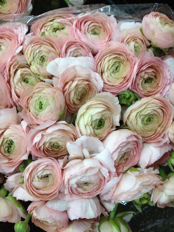 pink blush ranunculus