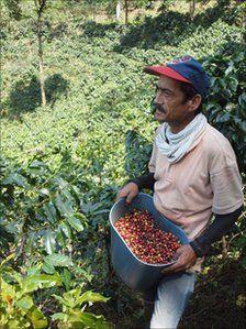 Recogiendo café  Colombia