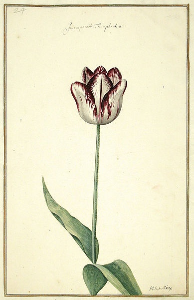 Watercolour illustration of a tulip taken from Karlsruher Tulpenbuch (1730).